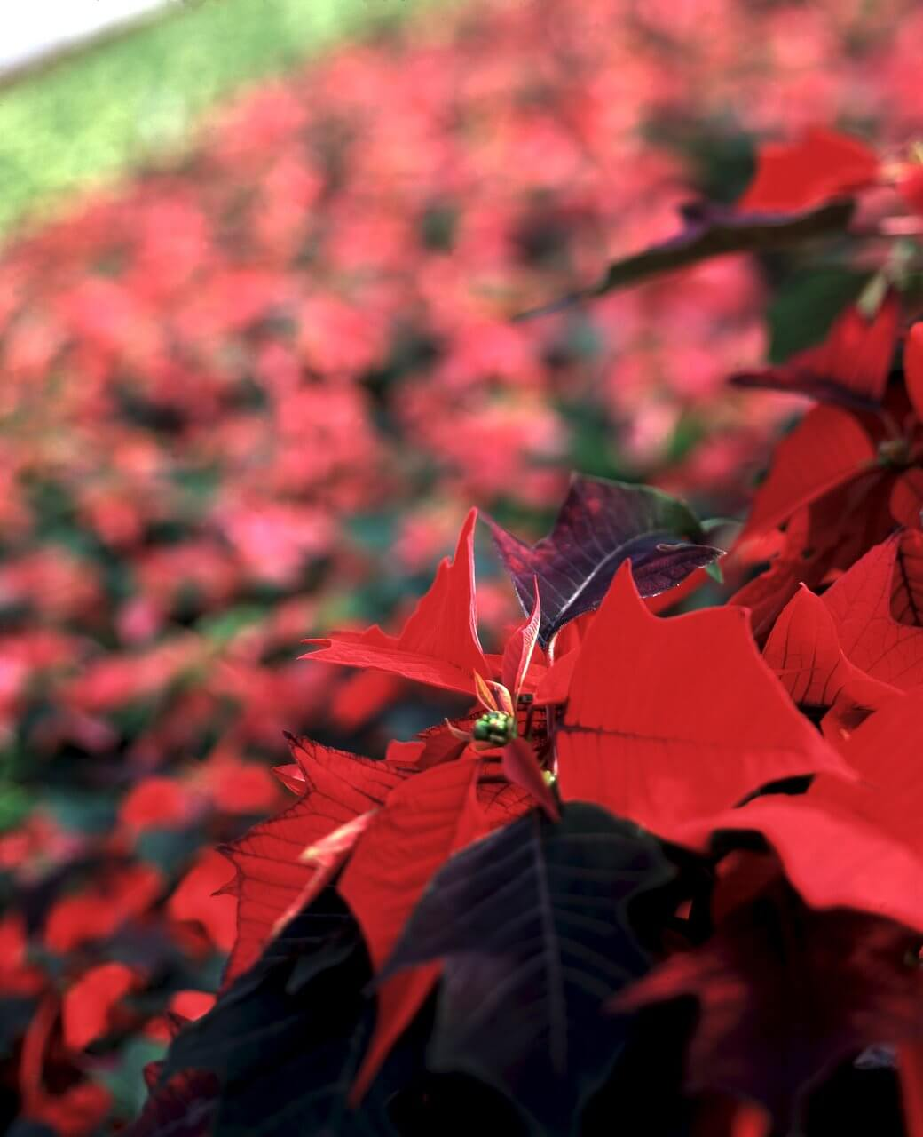 Christmas-flower-poinsettia-closeup-medium